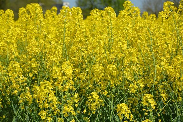 fields-rapeseed-3351834_640