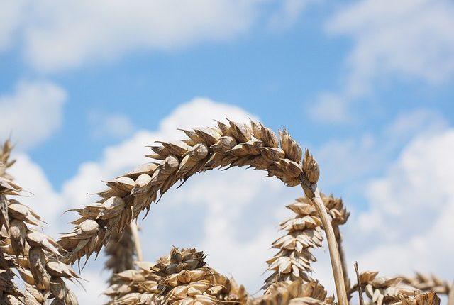 wheat-609882_640