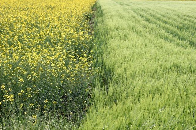 oil-seed-rape-2292012_640